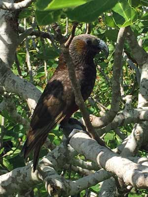 Kaka (New Zealand parrot) on Waiheke Island